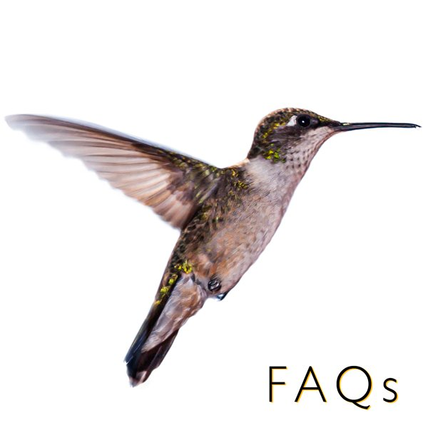hummingbird feeding link FAQ