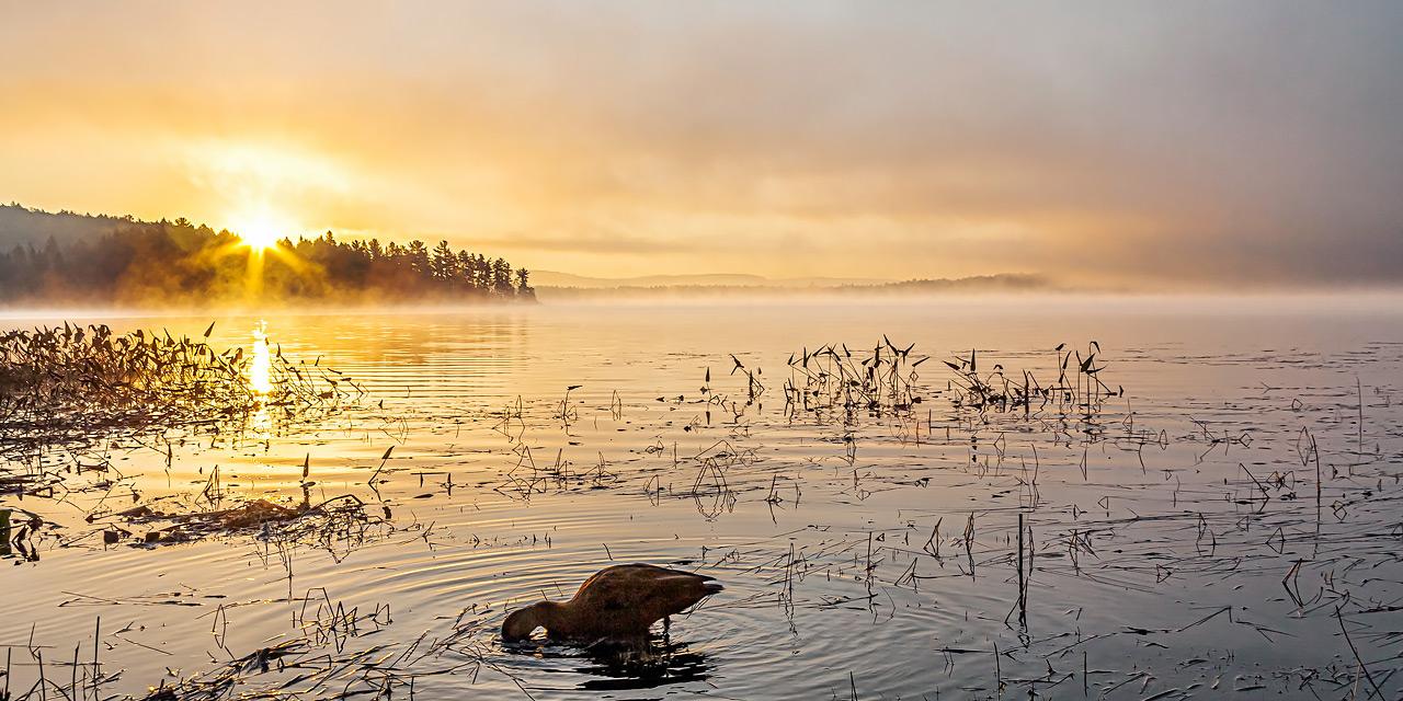 duck feeding dawn lake of two rivers sunrise