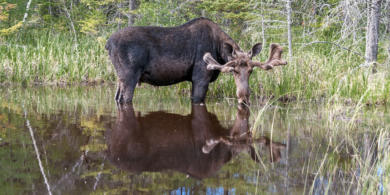 young bull moose wading in the water
